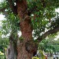 2008戲菊-夫妻樹