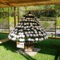 2009.12.共香盛菊