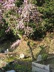 櫻花盛開時的法然寺
