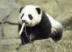 這是泰山第一次與媒體見面照片 叼著 bamboo 小帥哥