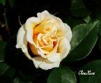 歡迎上傳玫瑰圖片或得意的玫瑰攝影作品。