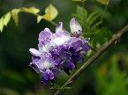 Reed猜:紫藤