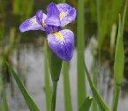2007台大梅峰花季門口生態池裡的水生鳶尾(圖/o.m)