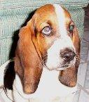 我愛巴吉度獵犬