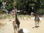 去年回美國時順便繞去洛城的動物園玩..看到好多可愛的動物..