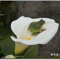 陽明山竹子湖海芋季 賞花秘境一日遊奇遇記》在花田間遇見小青蛙(中國樹蟾)、被鵝追到跌壞相機 - 42