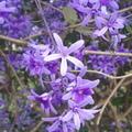 錫葉藤原產中美洲,紫色圓錐花序相疊豔麗,有夢幻之美。