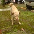 小黃黃被無情的主人棄養,流浪數月開始發情,公狗圍繞,被我請人吹箭捕抓去結紮