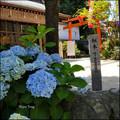 櫛田神社繡球花