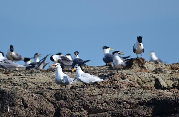 無懼疫情來襲,數千燕鷗落腳鐵尖繁殖