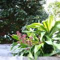 萬年青開花