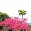 天元宮 後山 櫻花盛開
