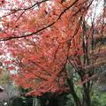 福壽山..楓葉紅了