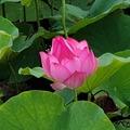 白河賞蓮花