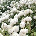 苗栗銅鑼金菊