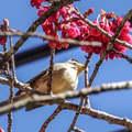 阿里山公路旁山櫻花