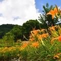 竹子湖金針花