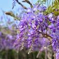淡水。紫藤