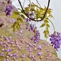 桃園龜山》紫藤&流蘇