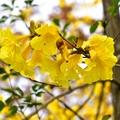 新竹峨眉湖畔黃金風鈴木