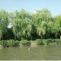 大運河旁柳樹