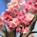 櫻花梅花齊開的季節