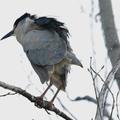 這隻夜鷺飛了老遠叼回築巢的樹枝後 停下來抖抖 可見細毛屑隨之飛揚