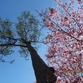賞櫻,是一種境界;讓這些景色,不僅僅於詩詞中存活,而是立體的呈現眼前,漫山遍野!尤其是,當飄落的櫻花遇上壯麗落霞,又是另一番情趣!