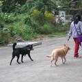 外傭放狗做運動,在港島是常見的事情。