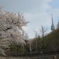 又是四月,觀櫻時節