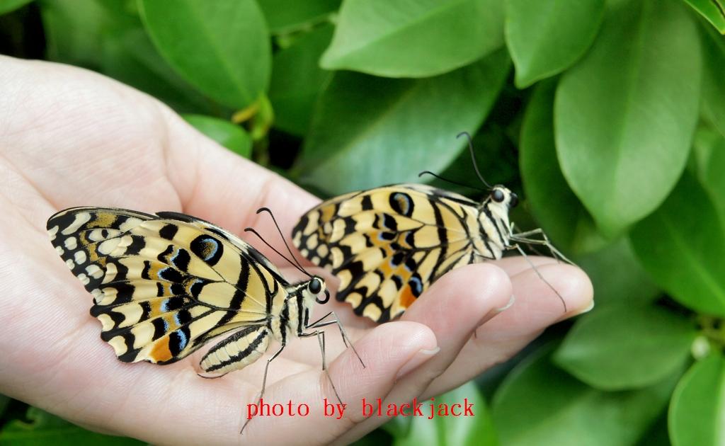 花鳳蝶 Papilio demoleus,又名無尾鳳蝶、達摩鳳蝶、達摩翠鳳蝶)、Papilio demoleus aka lime butterfly lemon butterfly lime swallowtail and chequered swallowtail