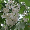 桐花又稱為一日花,當天開花當天謝,當天飄落於地化為泥。所以要珍惜桐花盛開的花期。