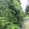 這整片山坡植披,大都是裏白蕨類,美啊!