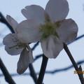 社區的桃花朵朵開
