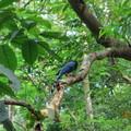 晨間的台灣藍鵲