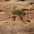 拱門國家公園步道旁的松樹