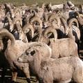 2004 Naches Bighorn sheep 大角羊