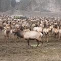 2004 Naches elk
