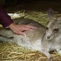 動物園裡的小袋鼠 Wallaby