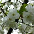 家裡後院的櫻花 01