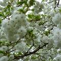 家裡後院的櫻花 02