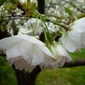 家裡後院的櫻花 03
