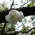 家裡後院的櫻花 04