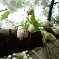 家裡後院的櫻花 05