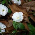 家裡後院的櫻花 06