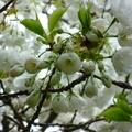 家裡後院的櫻花 07