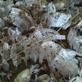 Needle Ice (霜柱)007