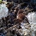 Needle Ice (霜柱)004