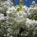 家裡後院的櫻花 08