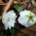 家裡後院的櫻花 09